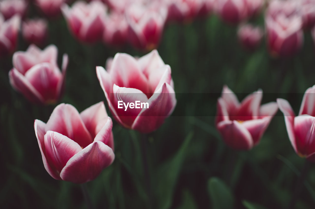 flowering plant, flower, beauty in nature, plant, fragility, vulnerability, petal, freshness, close-up, pink color, growth, flower head, tulip, inflorescence, nature, no people, day, focus on foreground, selective focus, outdoors