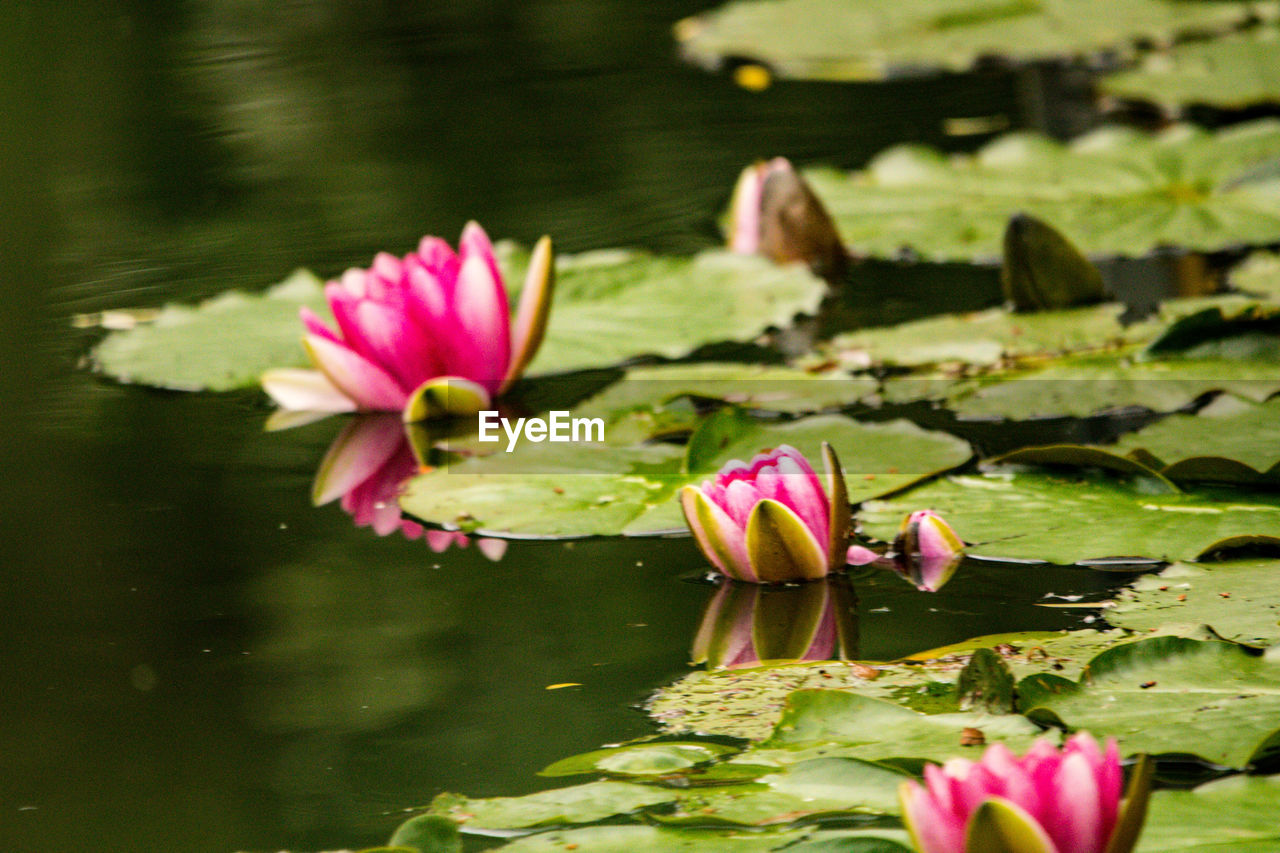 flower, water, water lily, flowering plant, beauty in nature, floating, floating on water, lake, pink color, vulnerability, fragility, plant, freshness, petal, leaf, lotus water lily, plant part, inflorescence, flower head, no people, outdoors, leaves