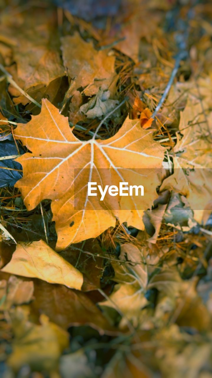 leaf, autumn, change, nature, close-up, day, maple leaf, outdoors, maple, beauty in nature, no people, growth, branch, fragility, freshness