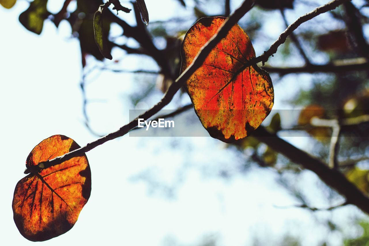 leaf, autumn, change, focus on foreground, orange color, nature, tree, no people, outdoors, beauty in nature, day, close-up, branch, low angle view, maple, sky