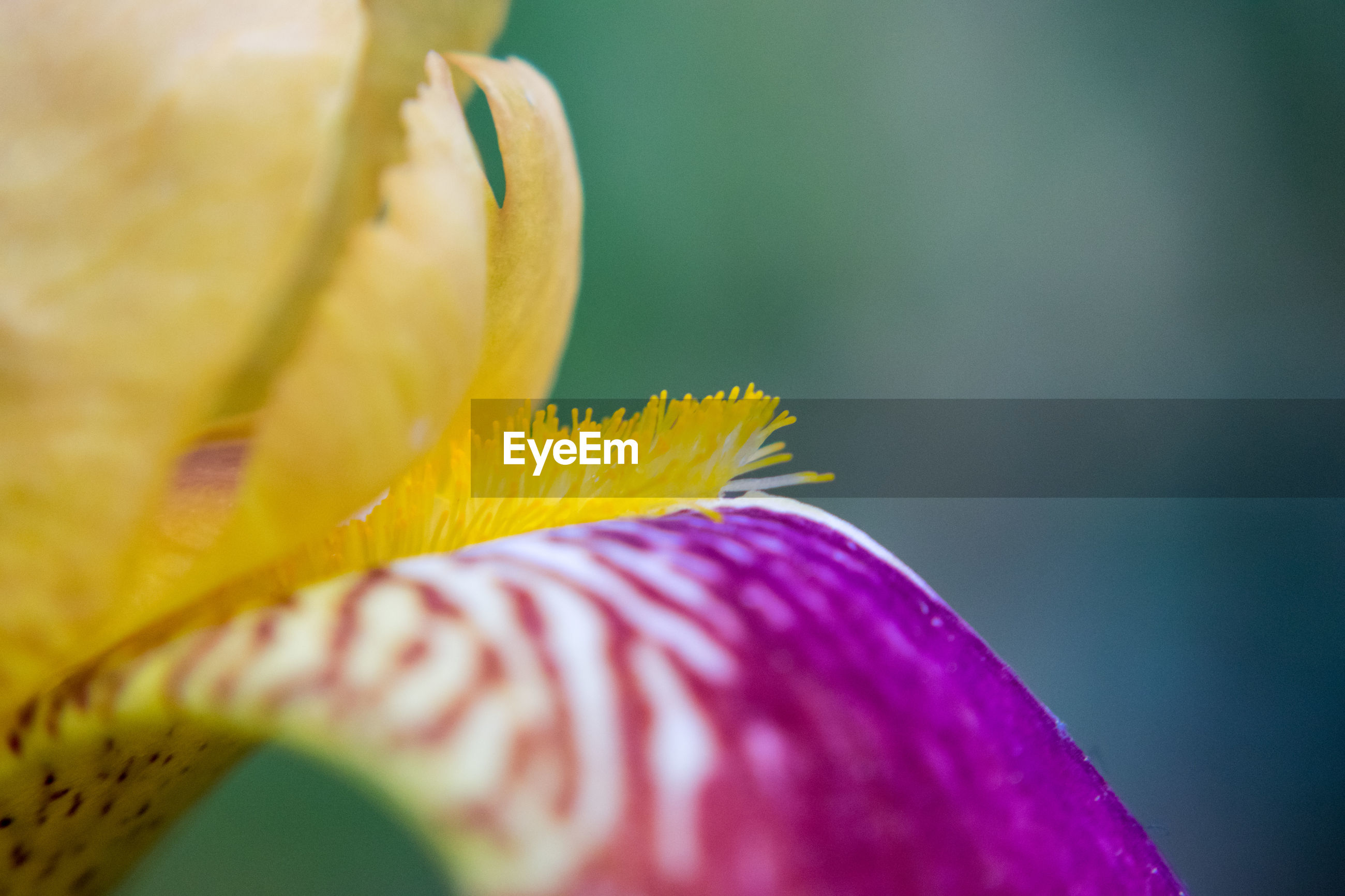 CLOSE-UP OF PURPLE FLOWER PETAL