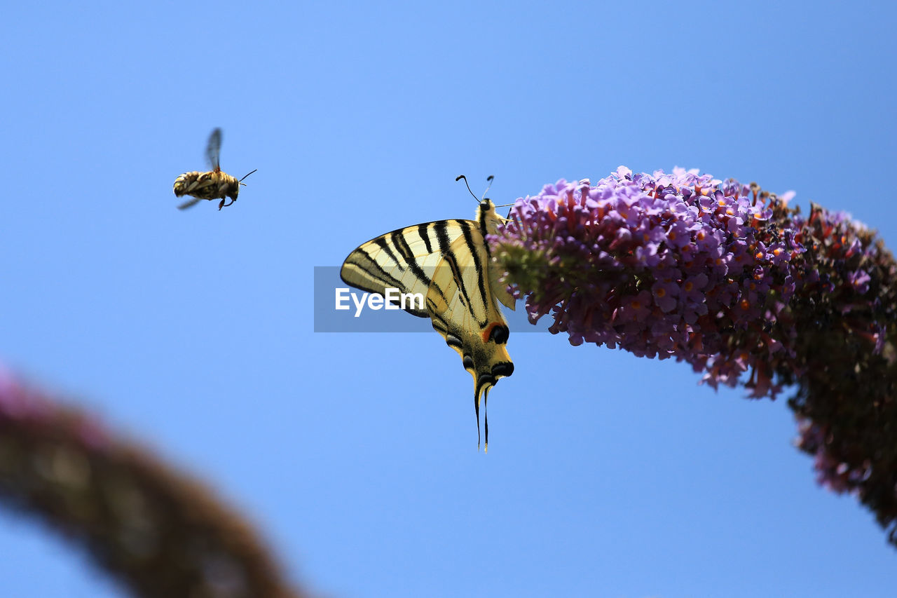 Low angle view of butterfly on purple lantana camara against bee flying in mid-air
