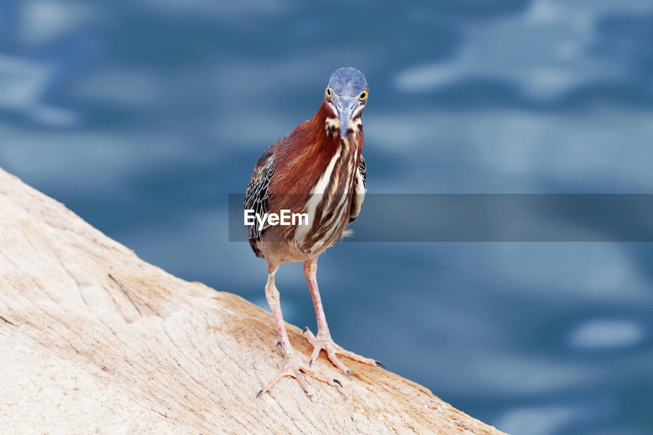 animal, bird, animal themes, vertebrate, one animal, animals in the wild, animal wildlife, perching, focus on foreground, water, day, no people, nature, outdoors, close-up, full length, wood - material, lake, rock