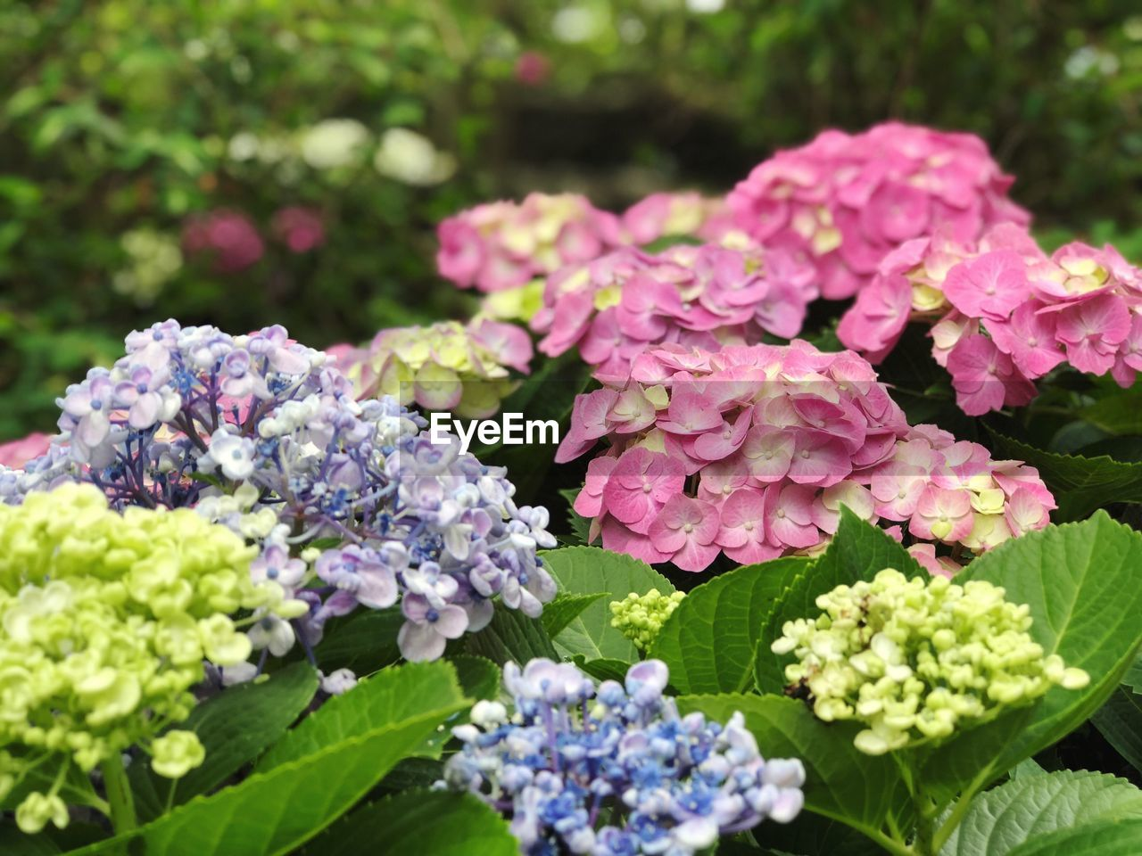 flowering plant, flower, beauty in nature, plant, freshness, vulnerability, fragility, growth, close-up, petal, inflorescence, flower head, nature, pink color, plant part, day, leaf, hydrangea, no people, outdoors, lilac, bunch of flowers, springtime, purple, flower arrangement, bouquet