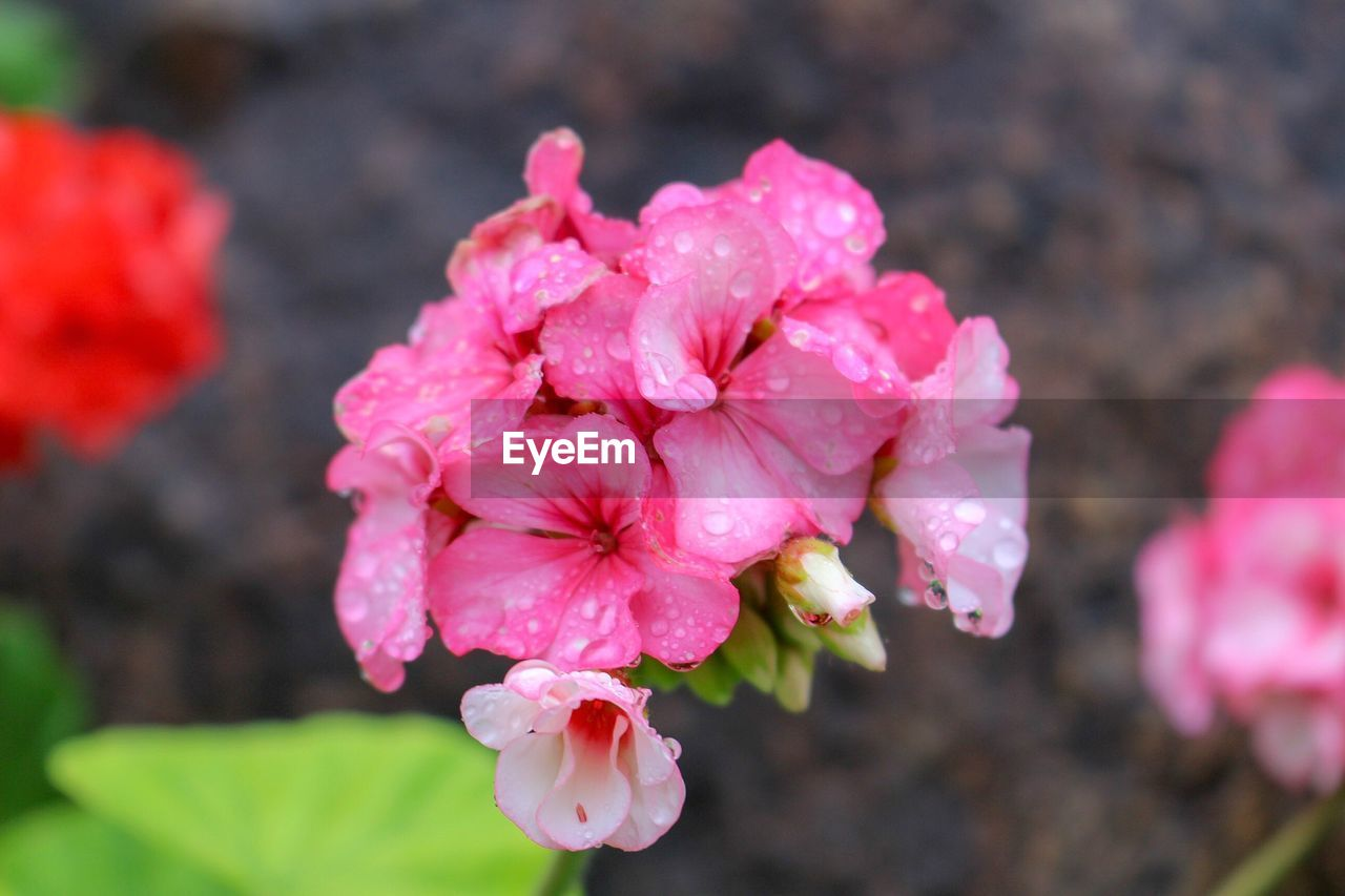 flower, flowering plant, beauty in nature, fragility, vulnerability, plant, freshness, petal, pink color, growth, close-up, inflorescence, flower head, focus on foreground, nature, day, no people, botany, outdoors, blossom, springtime, pollen, bunch of flowers