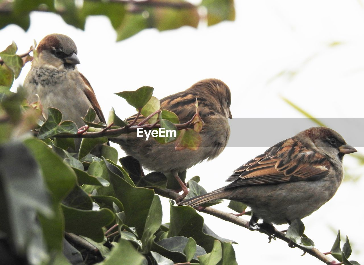 bird, vertebrate, animal wildlife, animals in the wild, group of animals, animal themes, animal, perching, leaf, plant part, two animals, nature, sparrow, day, no people, plant, branch, outdoors, low angle view, animal family