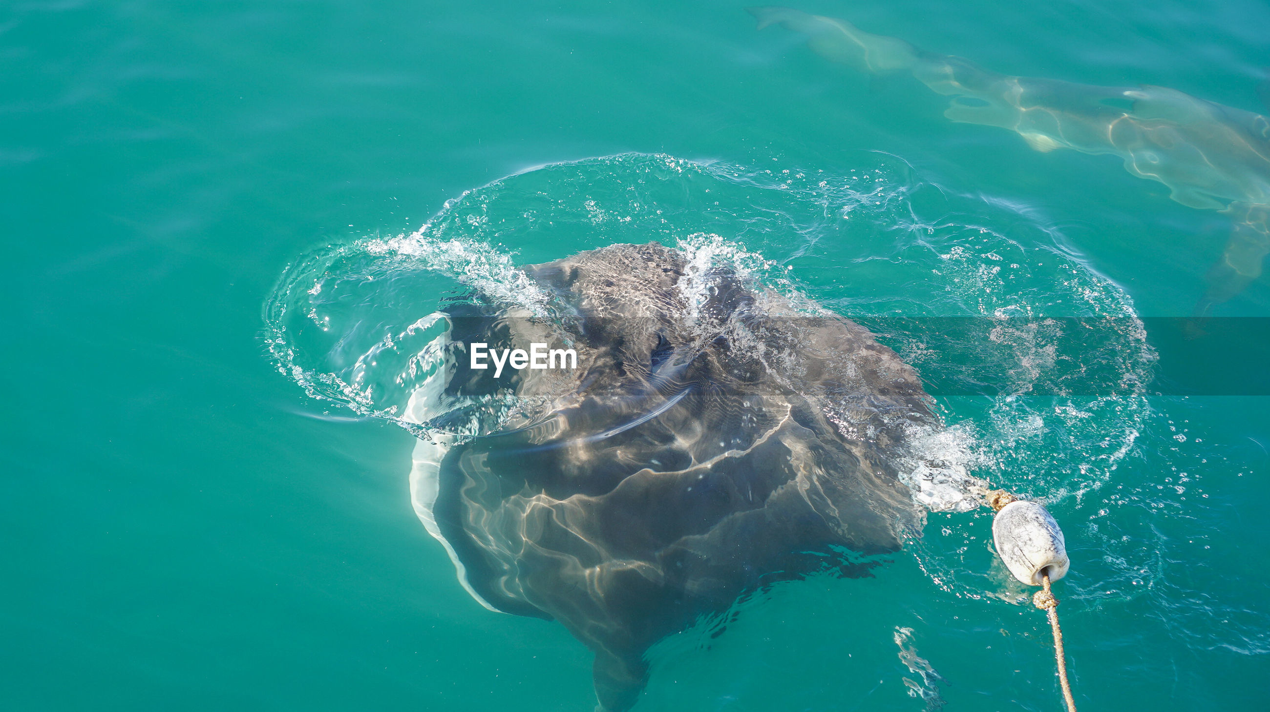 High angle view of large stringrey baiting in sea