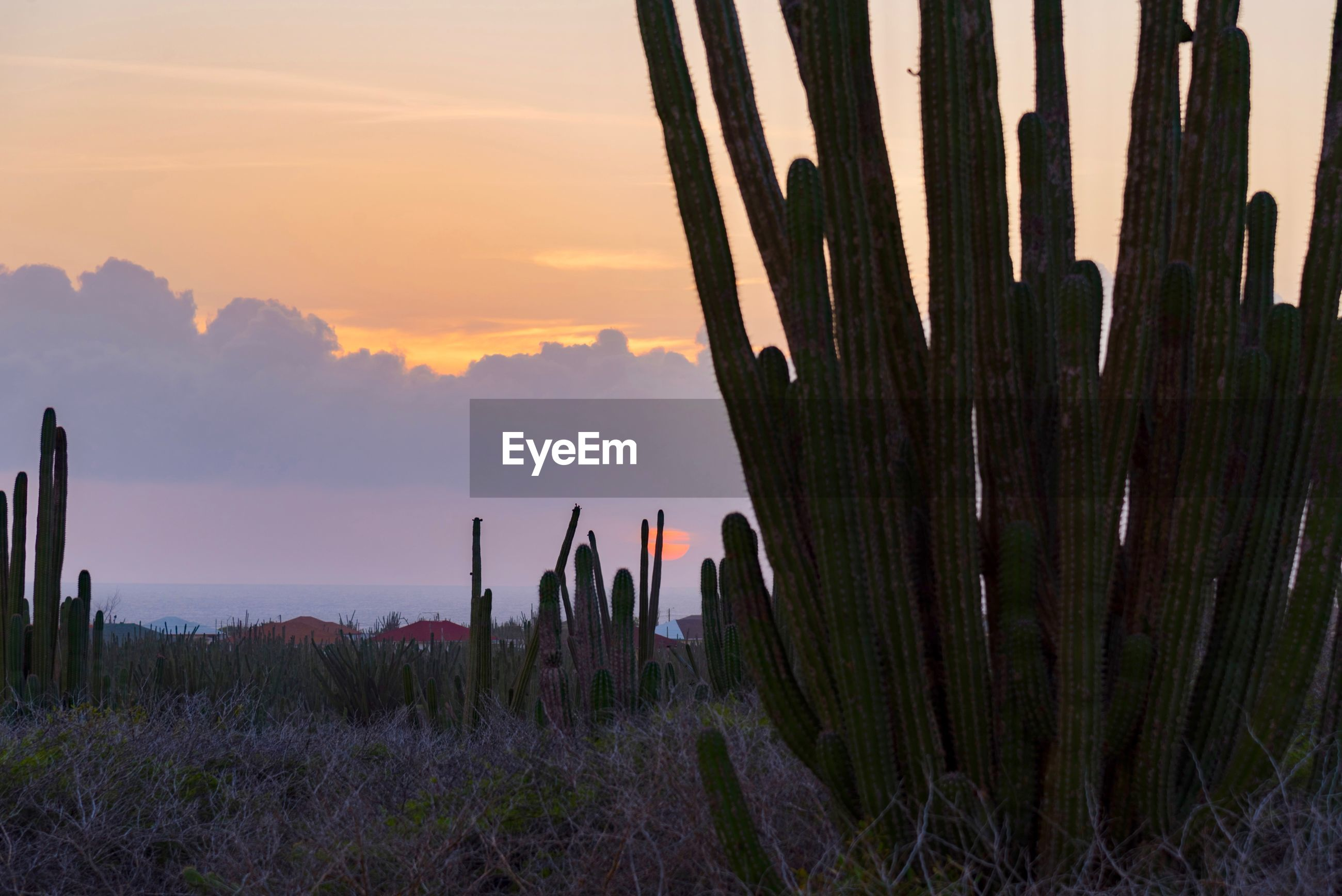 Cactus on land against sky during sunset