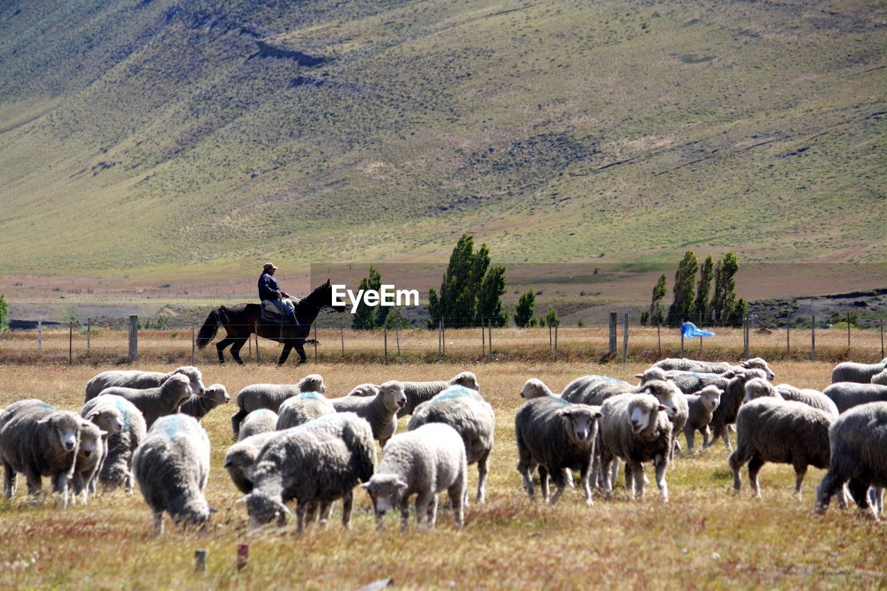 Male farmer riding a horse next to a flock of sheep