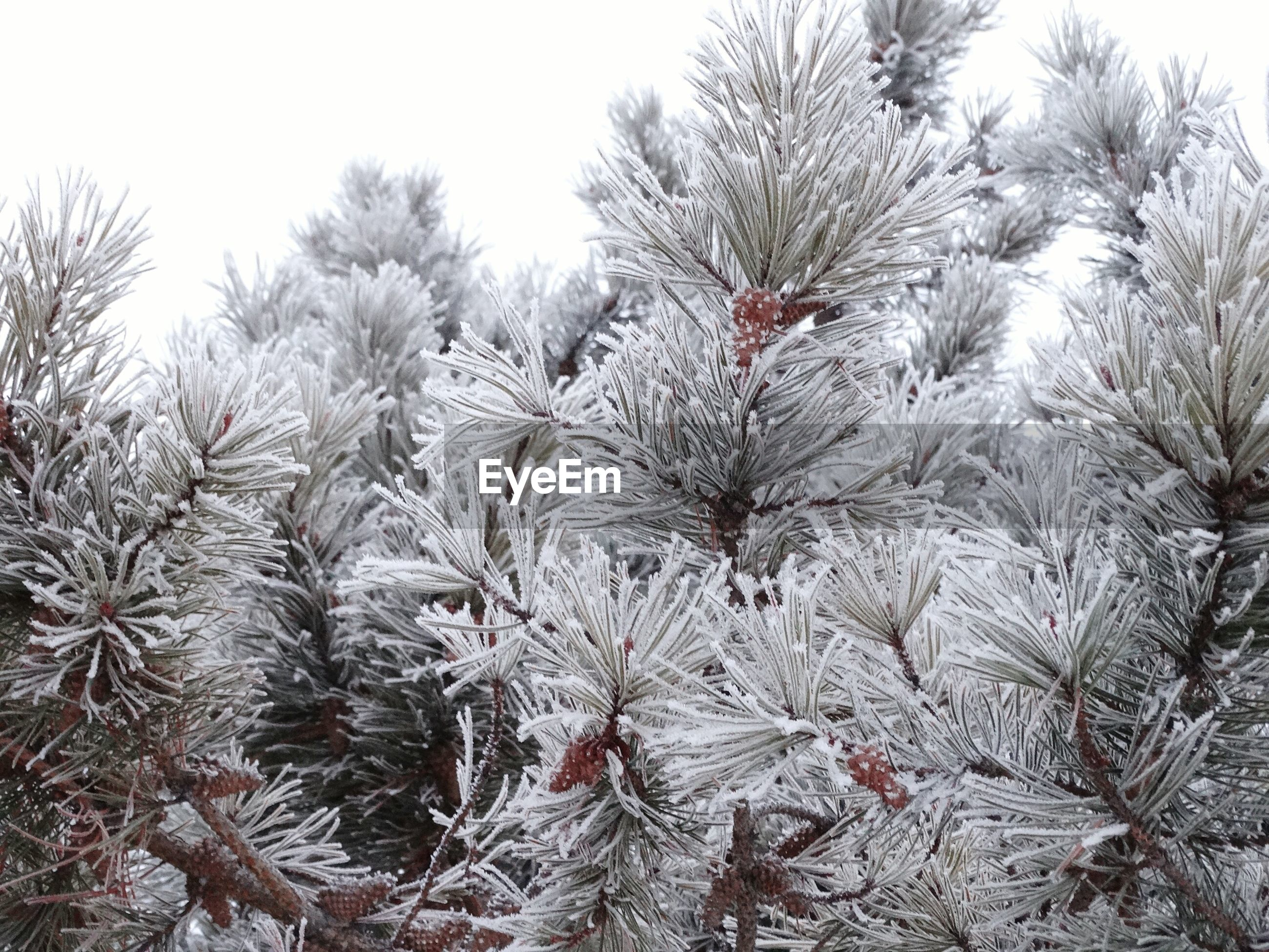 Close-Up Of Snow Covered Pine Trees Against Sky