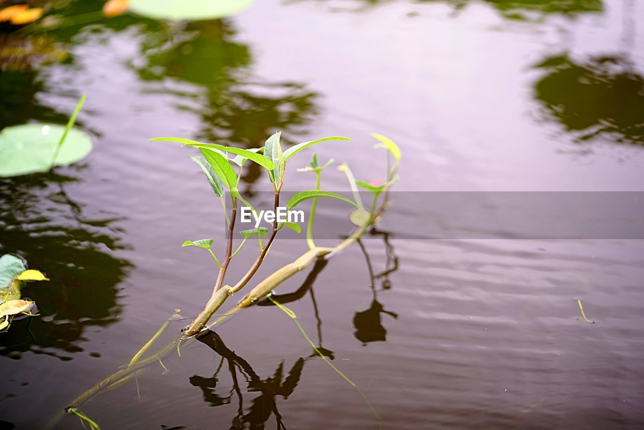plant, water, beauty in nature, flower, growth, flowering plant, fragility, vulnerability, nature, lake, plant part, leaf, close-up, no people, freshness, reflection, day, focus on foreground, plant stem, outdoors, flower head, floating on water, purple