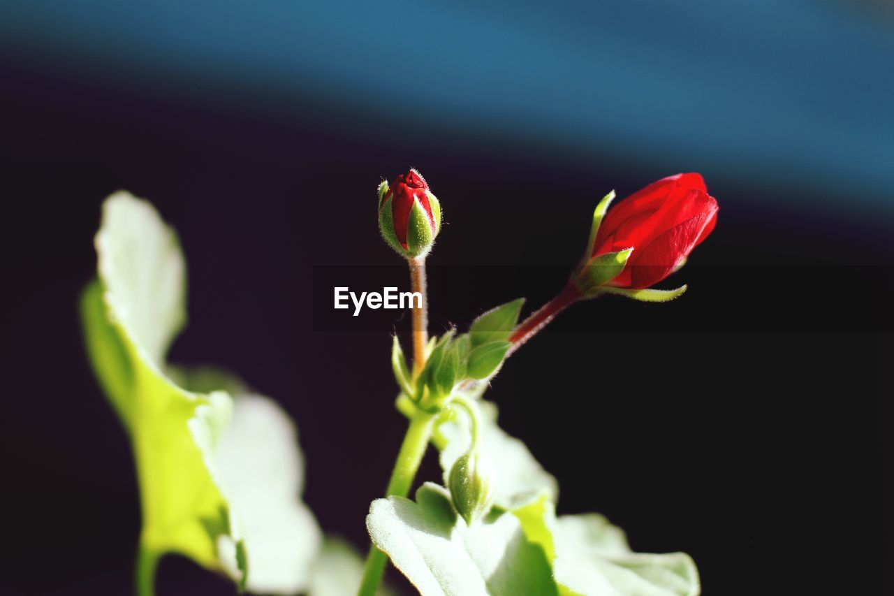 growth, plant, nature, no people, flower, petal, freshness, beauty in nature, close-up, green color, new life, fragility, red, outdoors, day, flower head