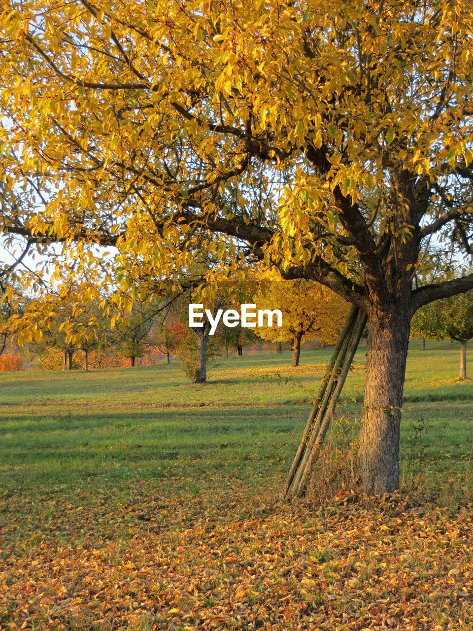 autumn, tree, leaf, change, nature, beauty in nature, field, landscape, no people, scenics, grass, outdoors, tranquility, day, branch, yellow