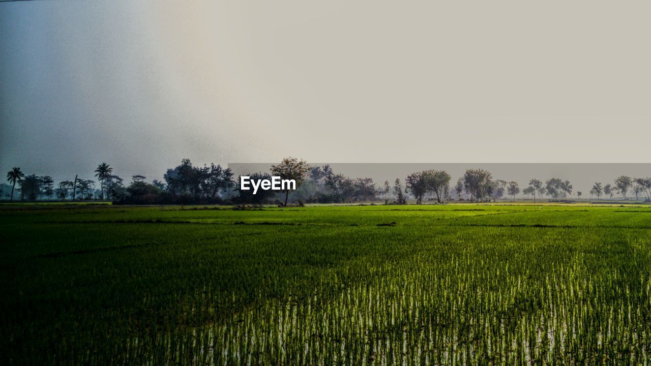 field, agriculture, growth, nature, landscape, tranquility, scenics, farm, tranquil scene, rural scene, beauty in nature, crop, grass, cultivated land, green color, no people, day, tree, outdoors, clear sky, rice paddy, sky, freshness