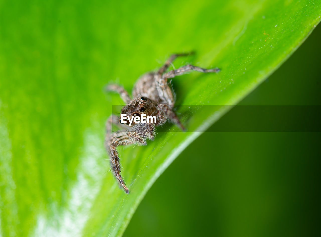 animal wildlife, insect, animal themes, animal, invertebrate, animals in the wild, one animal, green color, close-up, leaf, plant part, selective focus, arachnid, spider, arthropod, nature, plant, zoology, no people, day, outdoors, animal eye