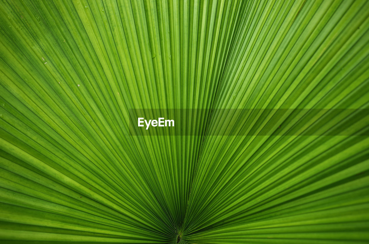 leaf, plant part, palm tree, palm leaf, green color, backgrounds, tropical climate, tree, frond, full frame, growth, plant, close-up, beauty in nature, pattern, no people, nature, natural pattern, textured, striped, abstract, abstract backgrounds, outdoors, textured effect, rainforest