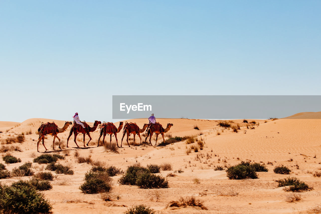 desert, land, sky, landscape, sand, mammal, animal, group of animals, animal themes, clear sky, nature, domestic animals, scenics - nature, environment, climate, sand dune, day, copy space, arid climate, remote, outdoors, riding