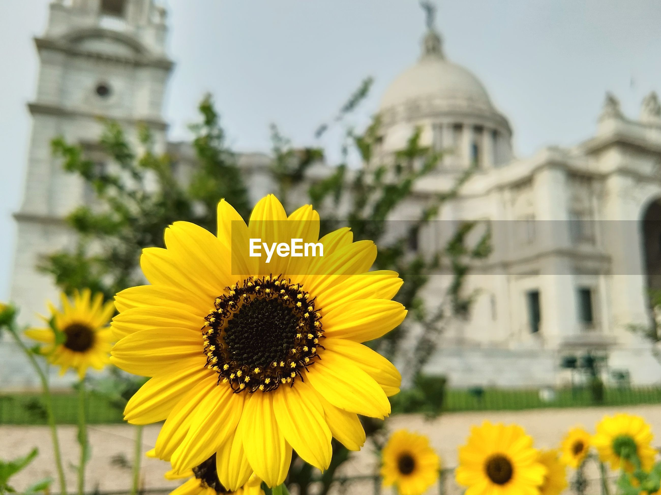 SUNFLOWERS AGAINST BUILDINGS AND YELLOW FLOWER