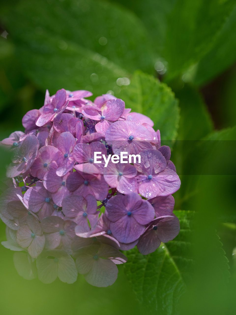 flower, fragility, nature, beauty in nature, petal, growth, purple, plant, hydrangea, no people, freshness, leaf, outdoors, water, blooming, day, flower head, close-up