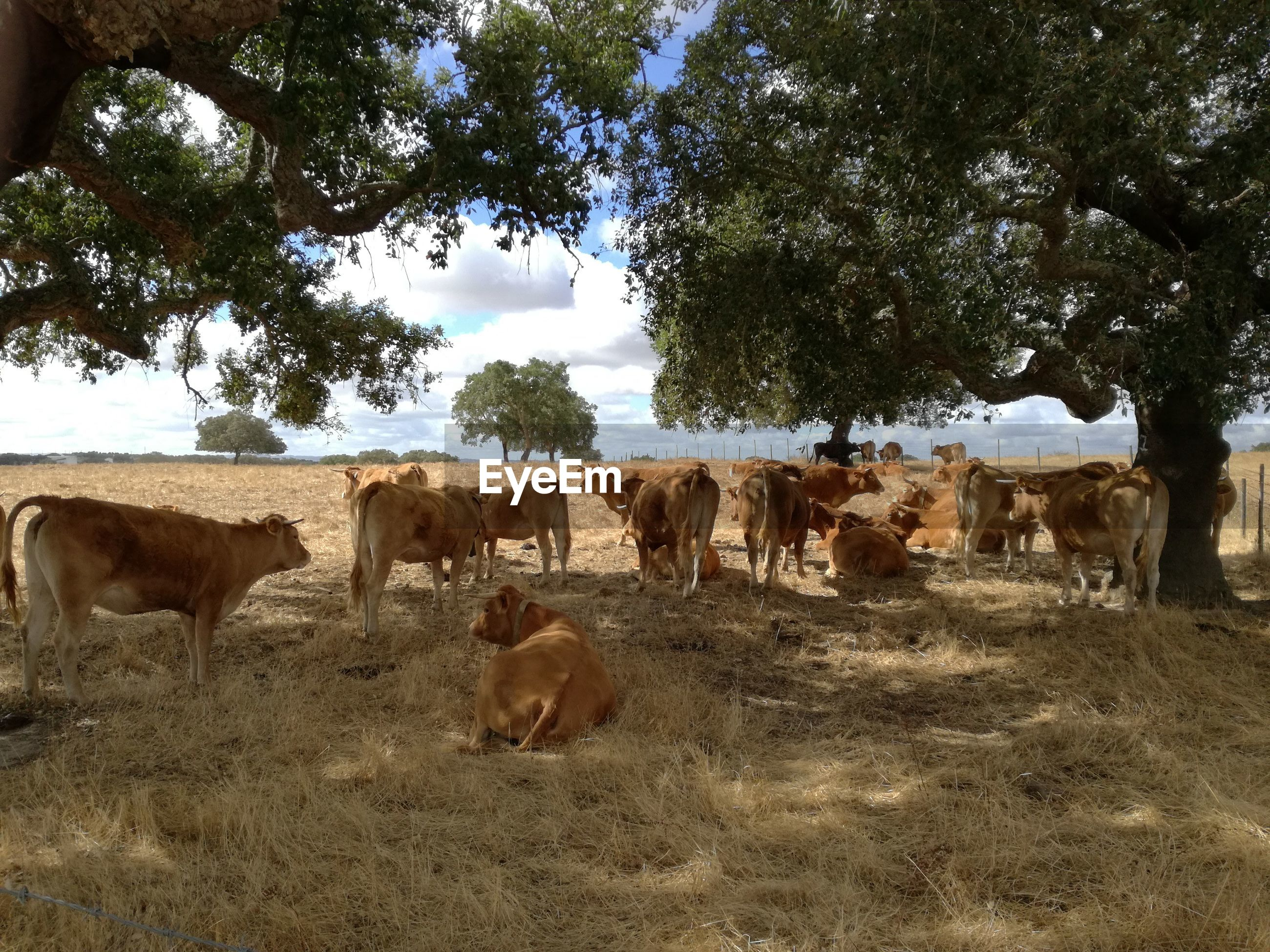 Cattle grazing on field against trees