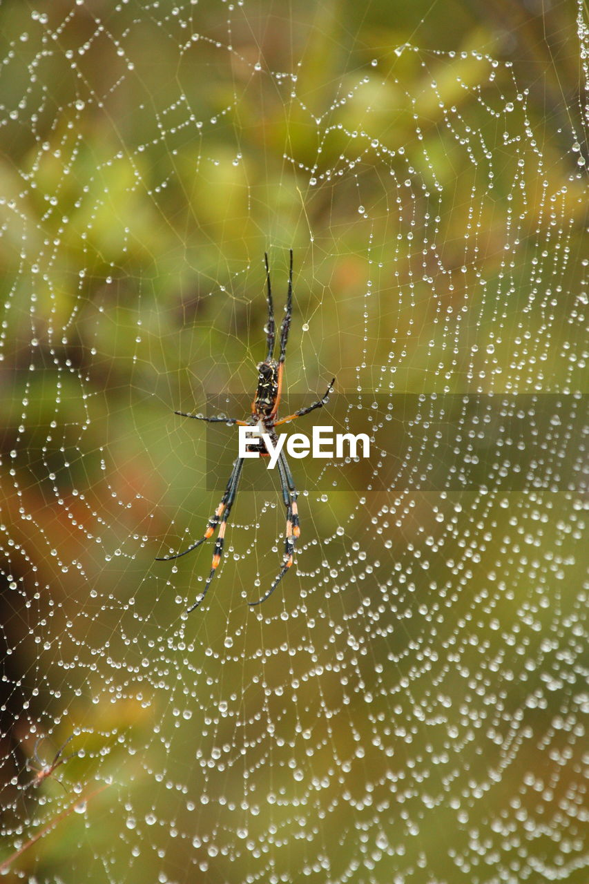 spider web, spider, animal themes, arachnid, close-up, animal, animal wildlife, animals in the wild, one animal, arthropod, fragility, invertebrate, focus on foreground, insect, vulnerability, nature, web, no people, day, beauty in nature, animal leg, outdoors, complexity, dew