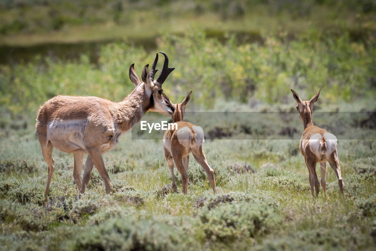 animal themes, animal, group of animals, animal wildlife, animals in the wild, mammal, land, field, deer, grass, plant, selective focus, day, no people, vertebrate, nature, standing, domestic animals, horned, herbivorous, outdoors, herd