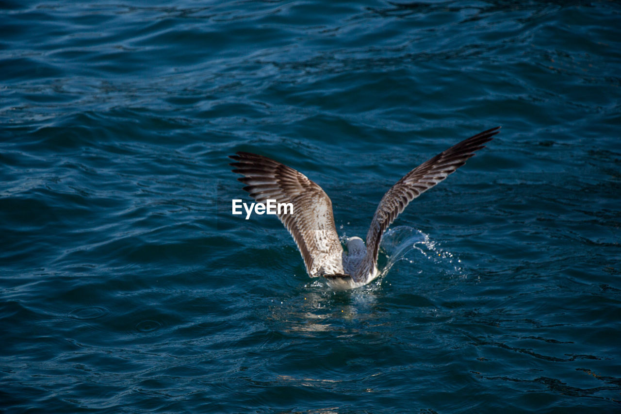 animals in the wild, animal wildlife, animal themes, water, waterfront, animal, one animal, vertebrate, sea, no people, flying, nature, day, spread wings, bird, motion, outdoors, beauty in nature, high angle view, seagull, marine
