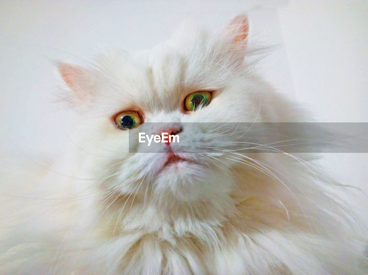 pets, domestic, domestic animals, cat, animal themes, mammal, animal, domestic cat, feline, one animal, vertebrate, white color, indoors, portrait, no people, looking at camera, persian cat, close-up, whisker, looking, animal head