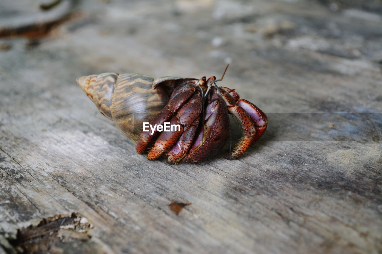 Close-up of hermit crab on wood
