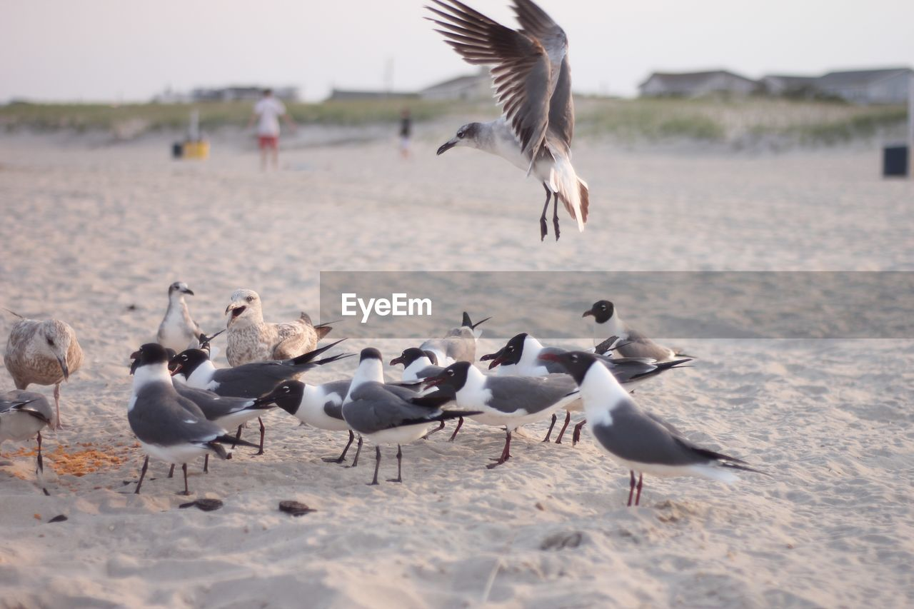 animals in the wild, group of animals, animal wildlife, bird, animal themes, animal, vertebrate, flying, large group of animals, water, spread wings, seagull, beach, land, day, nature, no people, flock of birds, sand