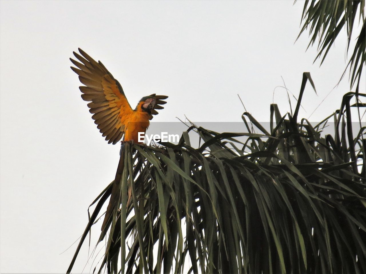 animals in the wild, animal wildlife, bird, animal themes, animal, vertebrate, one animal, flying, low angle view, spread wings, sky, no people, clear sky, nature, tree, plant, day, leaf, branch, outdoors, palm leaf