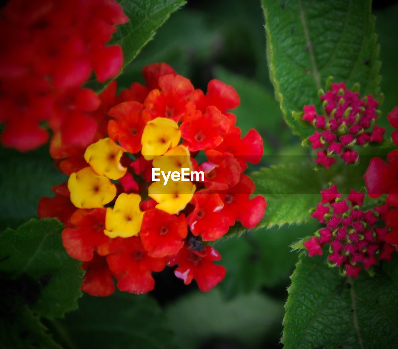 beauty in nature, flower, growth, freshness, fragility, petal, nature, plant, lantana, lantana camara, flower head, outdoors, green color, leaf, red, no people, park - man made space, day, blooming, yellow, close-up