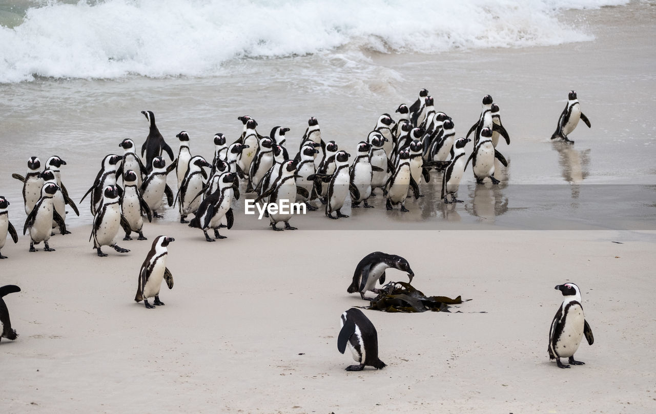 group of animals, large group of animals, animal, animal themes, animals in the wild, animal wildlife, bird, beach, vertebrate, water, land, beauty in nature, no people, cold temperature, nature, sea, winter, high angle view, sand