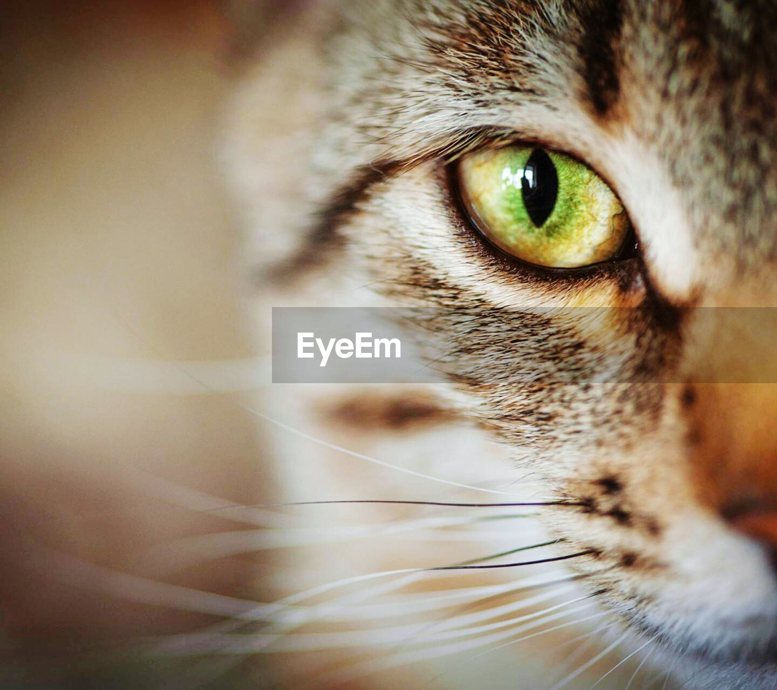 domestic cat, one animal, portrait, pets, domestic animals, animal themes, close-up, feline, looking at camera, whisker, animal head, mammal, focus on foreground, no people, indoors, day
