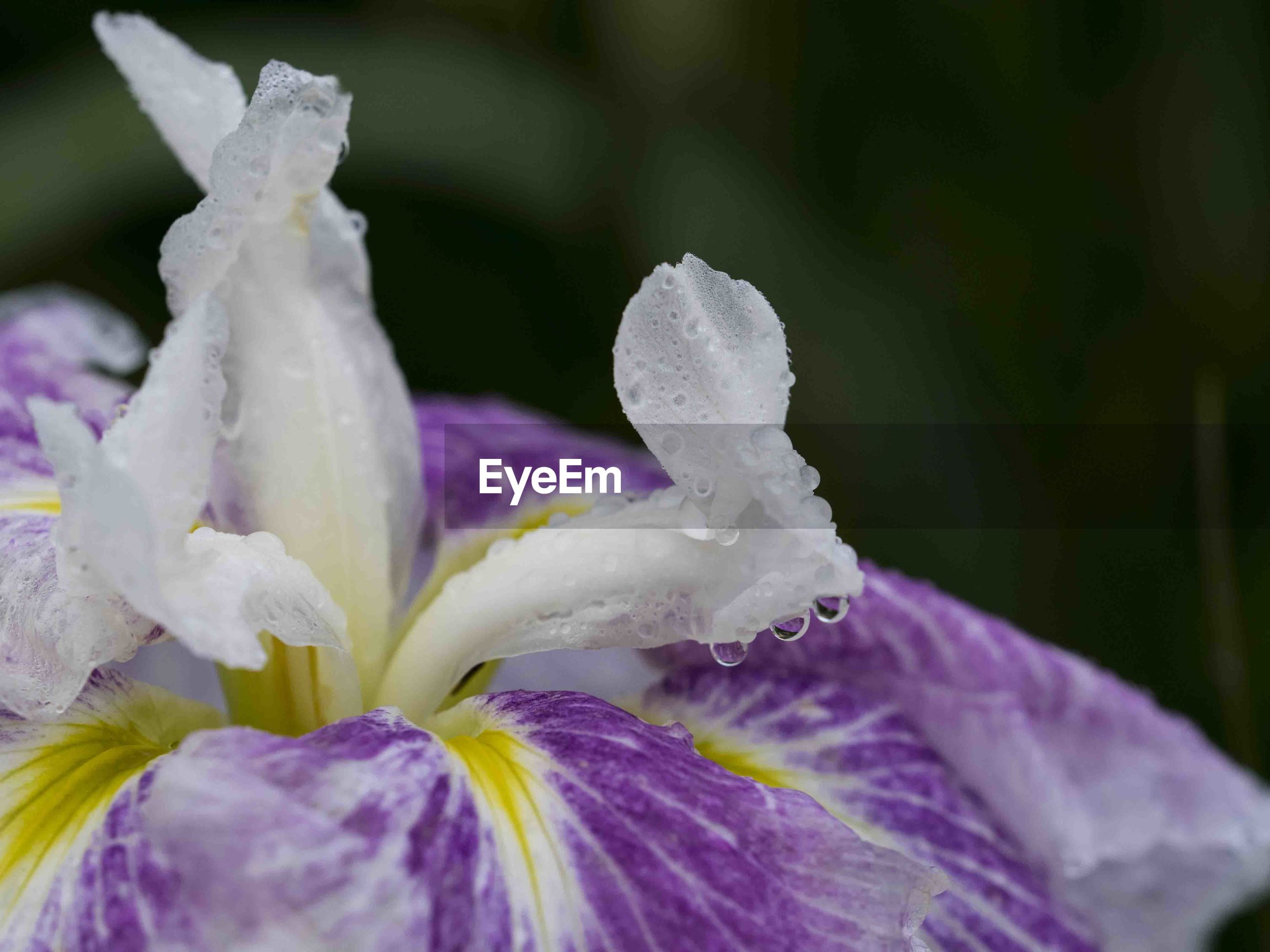 flower, petal, beauty in nature, nature, freshness, drop, fragility, flower head, purple, growth, close-up, no people, plant, day, wet, water, raindrop, outdoors, blooming, passion flower