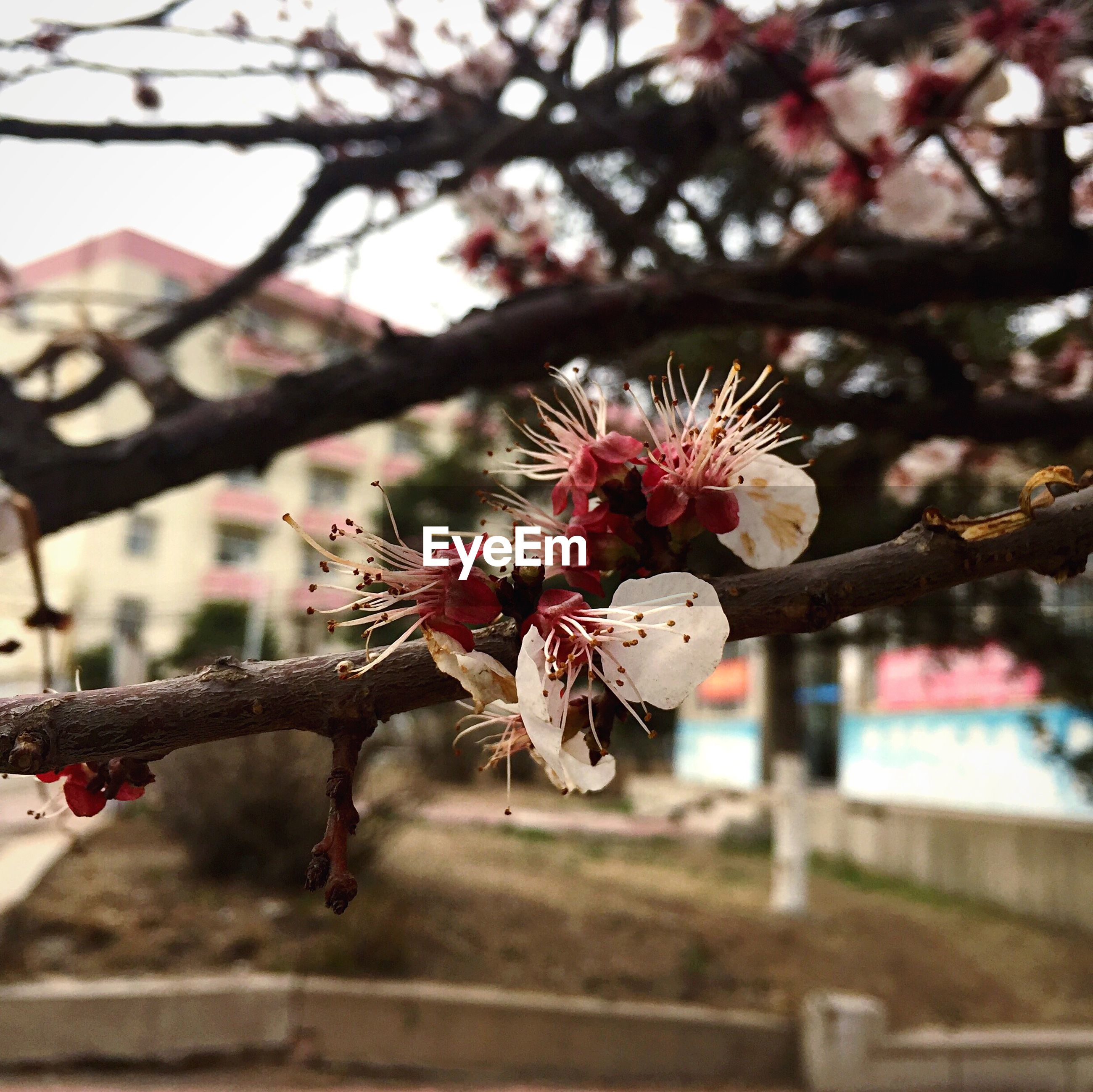 flower, branch, focus on foreground, freshness, fragility, tree, close-up, pink color, cherry blossom, cherry tree, growth, nature, beauty in nature, blossom, twig, petal, selective focus, springtime, in bloom, day