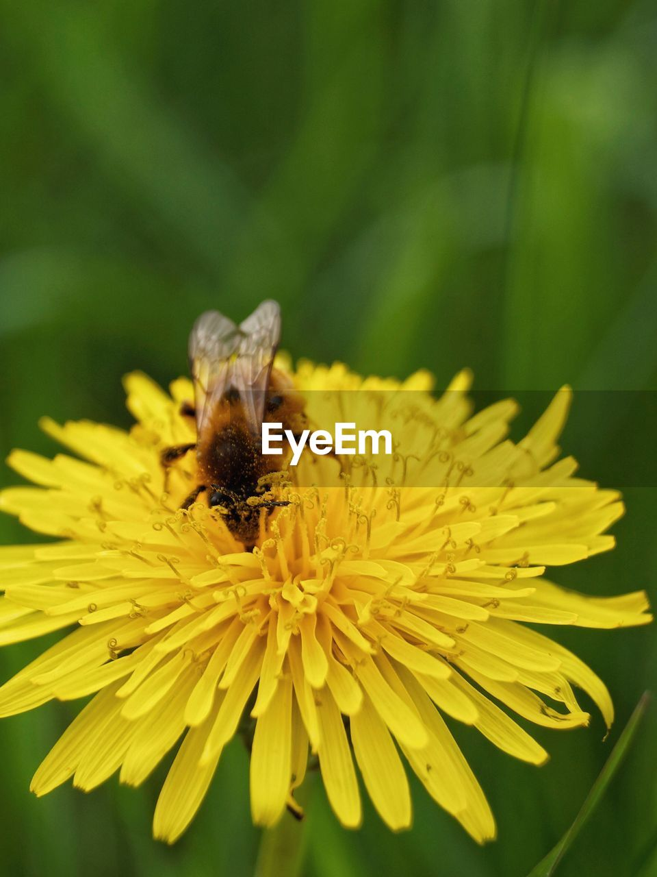 flower, flowering plant, animal, insect, animal themes, fragility, animal wildlife, petal, animals in the wild, beauty in nature, invertebrate, vulnerability, freshness, one animal, bee, plant, flower head, yellow, close-up, growth, pollination, pollen, no people, bumblebee
