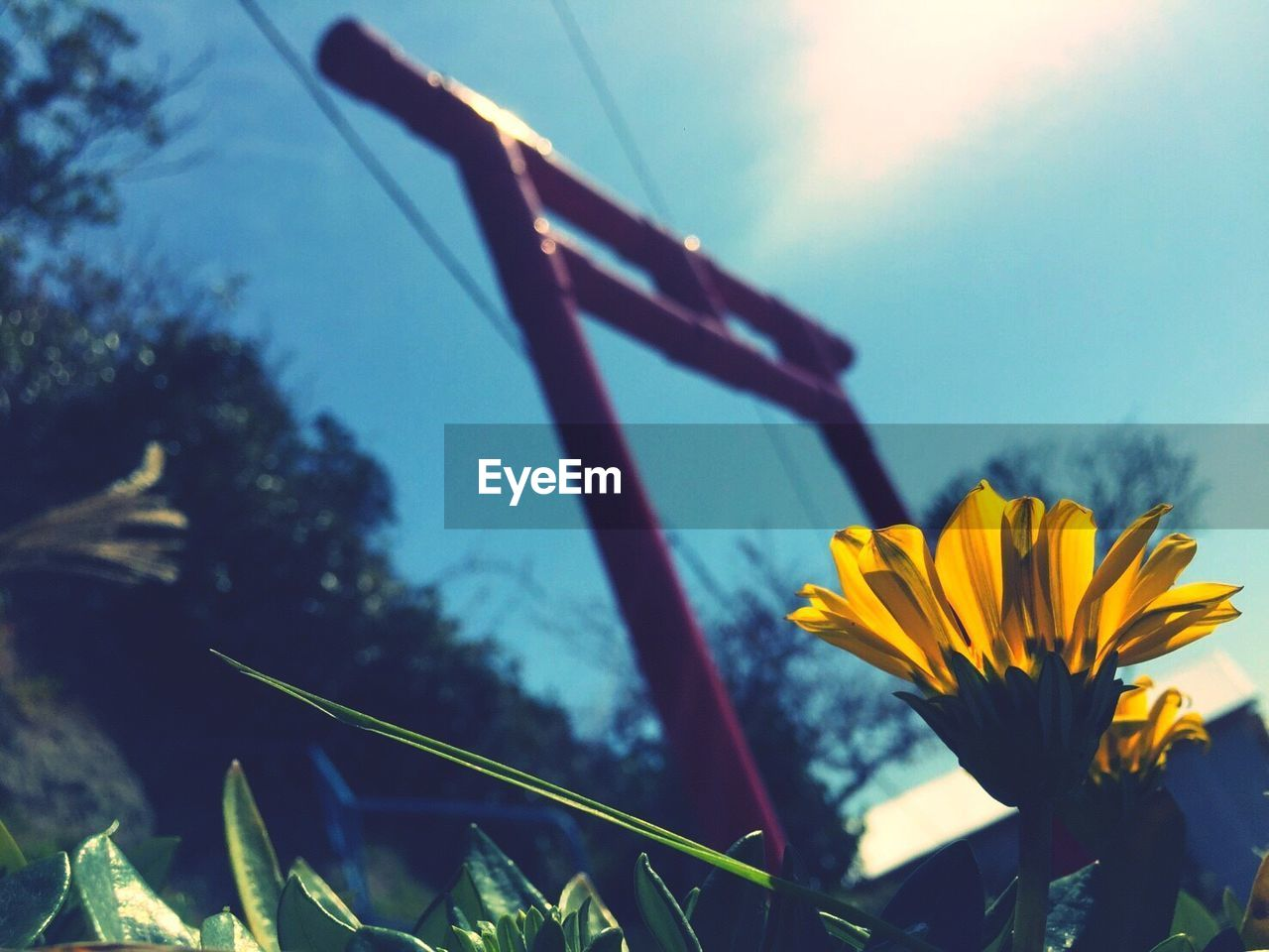 flower, growth, nature, plant, fragility, petal, yellow, outdoors, stem, no people, low angle view, beauty in nature, sky, day, flower head, close-up, blooming, freshness, focus on foreground, sunflower, tree