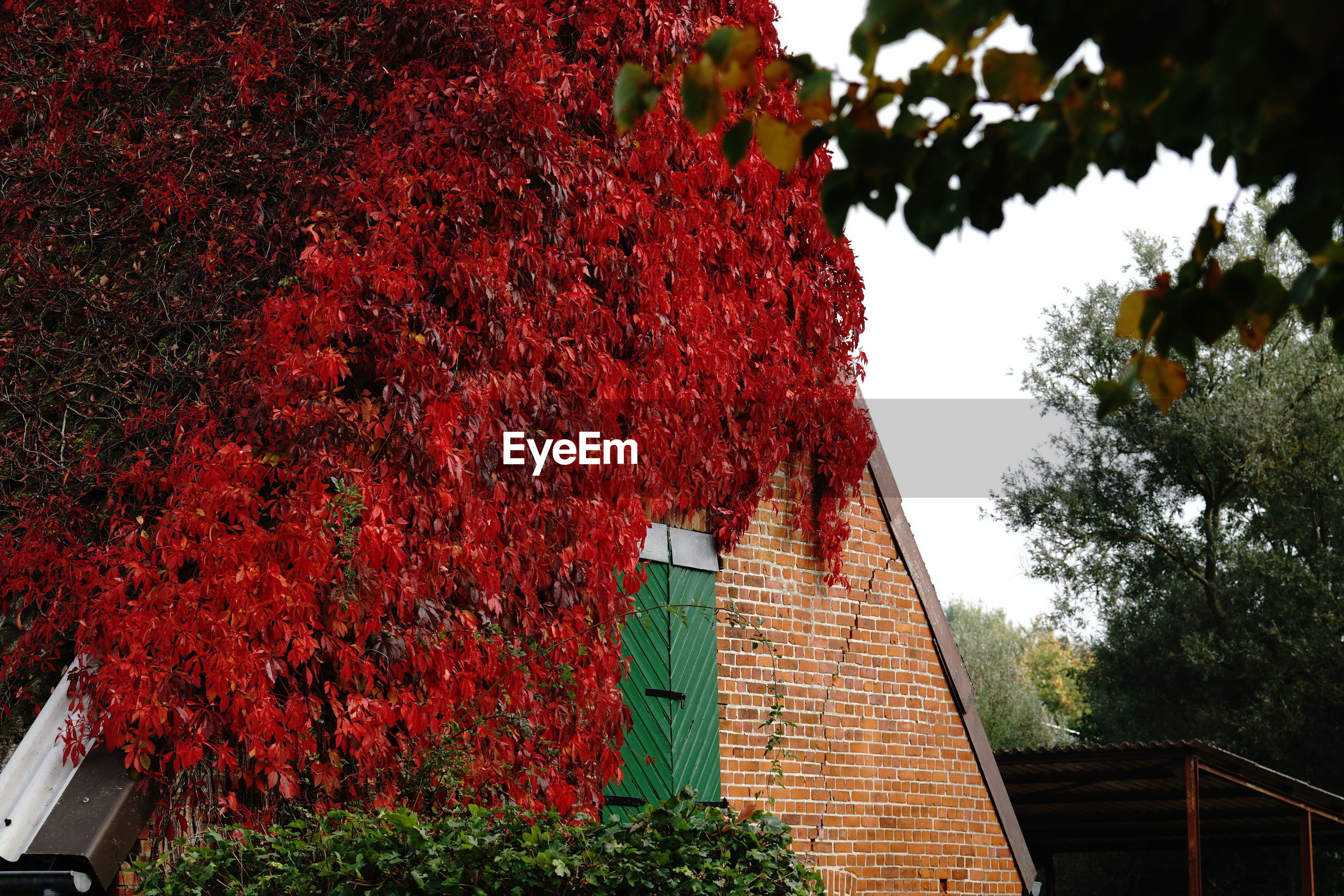 LOW ANGLE VIEW OF RED FLOWERING TREE BY HOUSE
