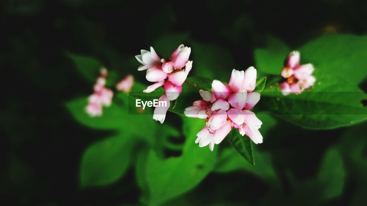 flower, beauty in nature, nature, fragility, petal, growth, freshness, plant, blooming, flower head, pink color, no people, close-up, leaf, outdoors, day, periwinkle