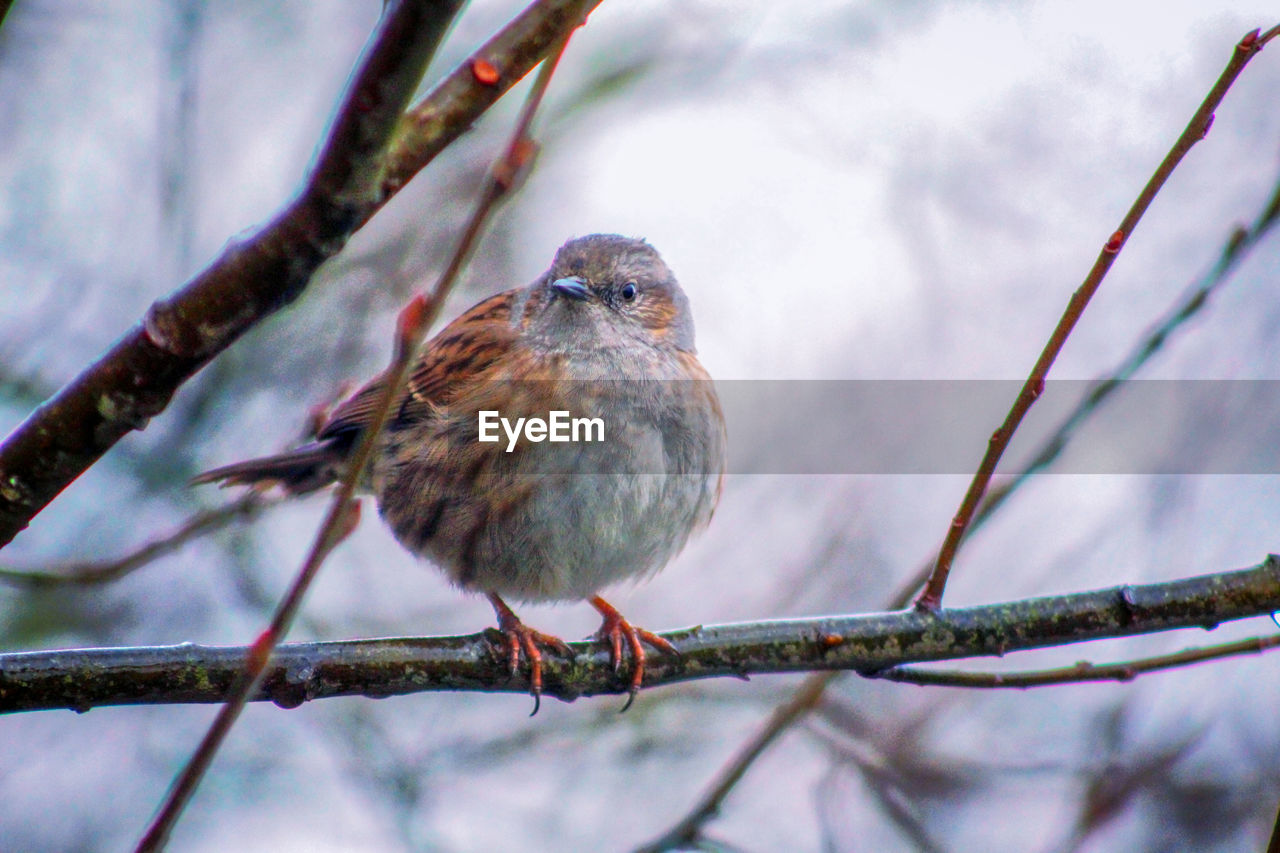 animal, vertebrate, animal themes, bird, branch, perching, tree, one animal, animal wildlife, animals in the wild, plant, day, twig, nature, focus on foreground, close-up, selective focus, no people, low angle view, sparrow, outdoors