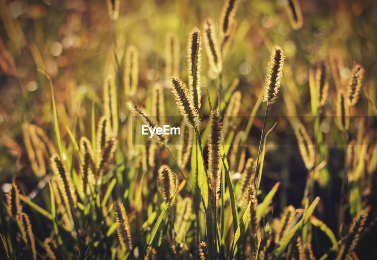 plant, growth, beauty in nature, nature, tranquility, close-up, no people, focus on foreground, day, field, selective focus, land, green color, sunlight, outdoors, grass, crop, cereal plant, agriculture, farm, timothy grass, stalk