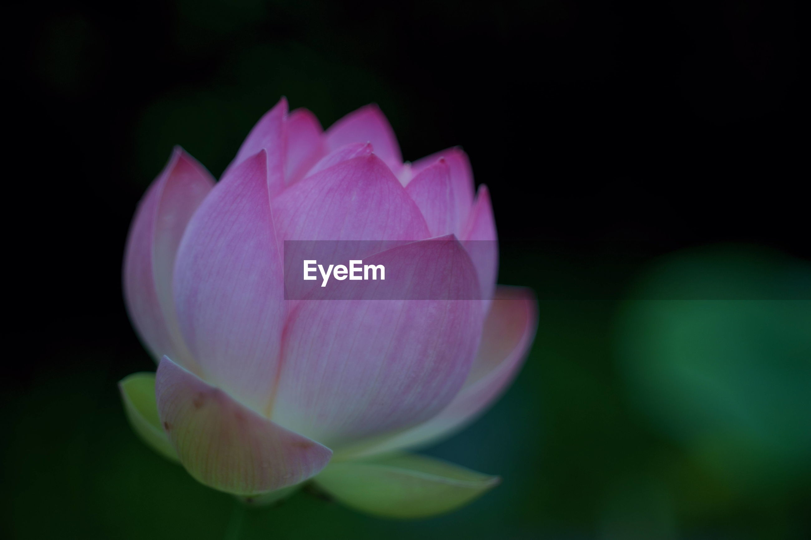 CLOSE-UP OF PINK WATER LILY IN LOTUS