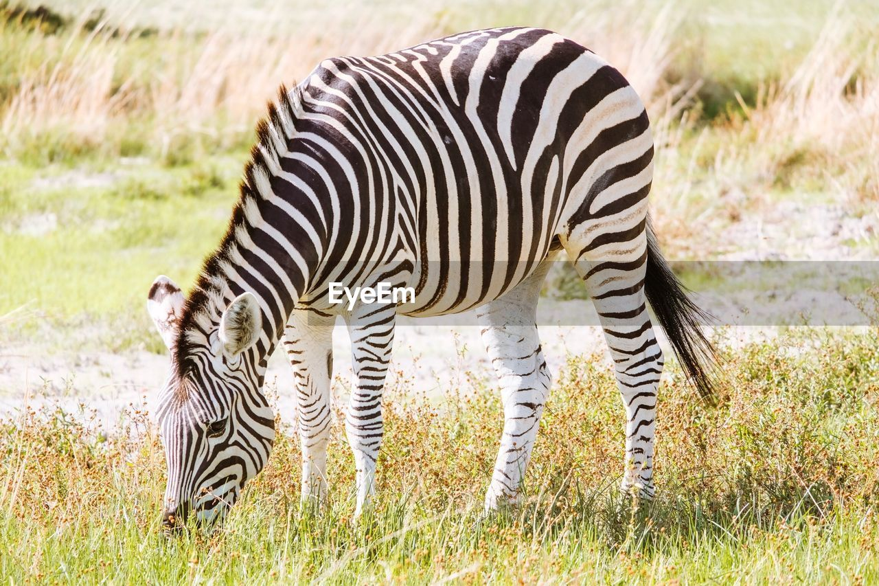 VIEW OF TWO ZEBRAS AND ZEBRA