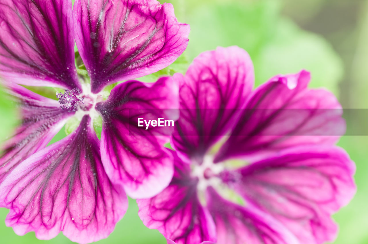 flower, petal, beauty in nature, fragility, flower head, nature, freshness, growth, close-up, plant, blooming, no people, purple, day, pink color, outdoors, petunia