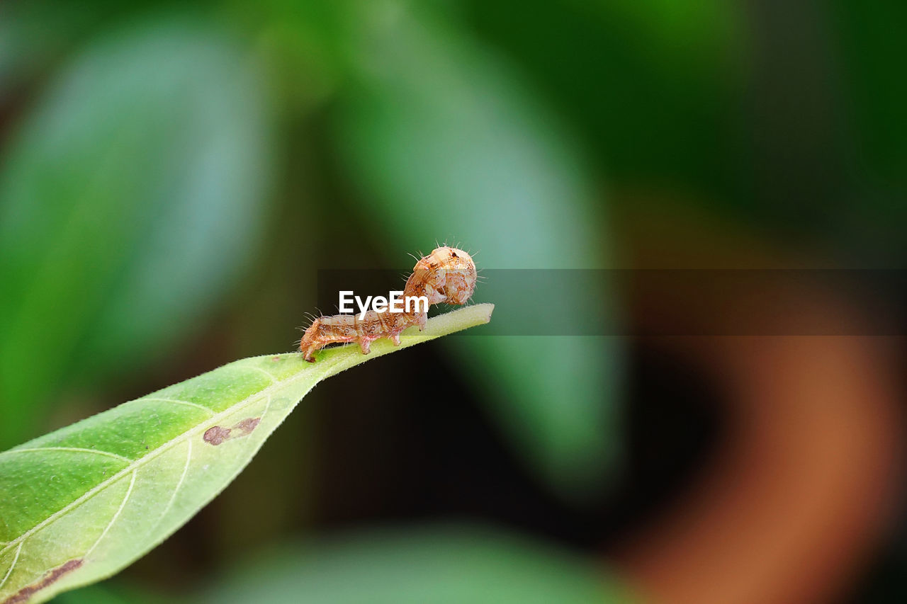 green color, leaf, plant part, close-up, one animal, animal, animals in the wild, animal wildlife, animal themes, invertebrate, insect, day, selective focus, caterpillar, focus on foreground, plant, nature, no people, growth, outdoors