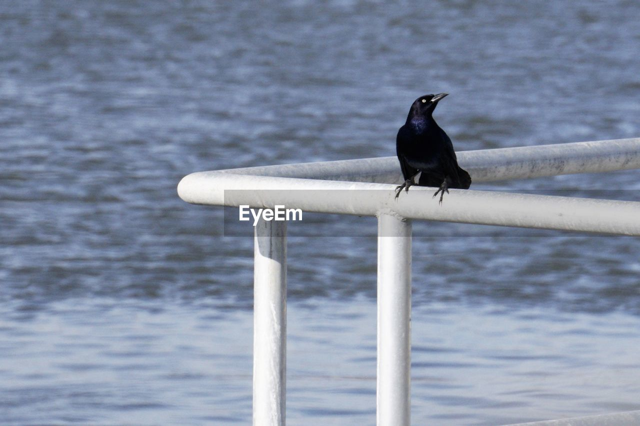 bird, vertebrate, animal themes, animal wildlife, animal, animals in the wild, perching, one animal, water, sea, day, no people, focus on foreground, nature, outdoors, railing, crow, cormorant