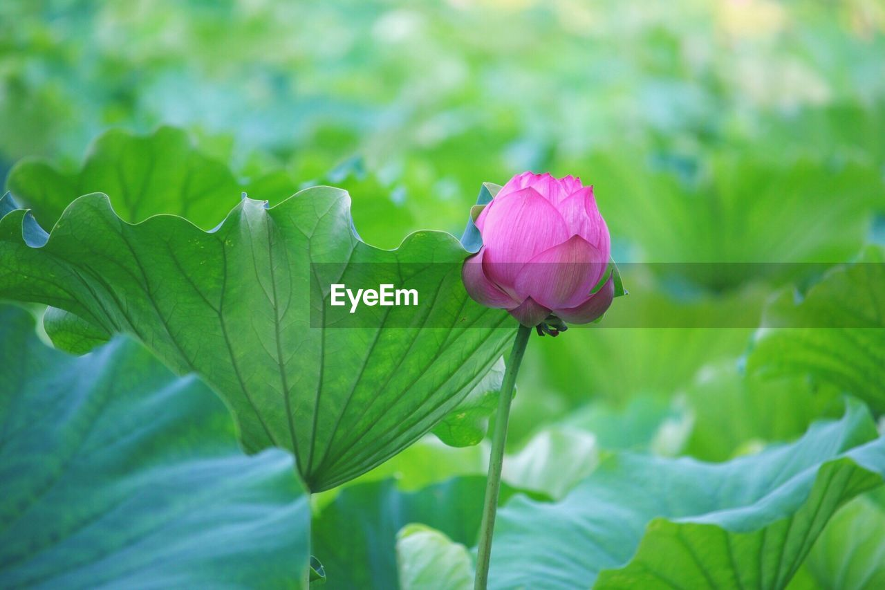 flowering plant, flower, plant, vulnerability, fragility, beauty in nature, petal, close-up, freshness, plant part, leaf, growth, green color, inflorescence, flower head, nature, focus on foreground, pink color, no people, purple