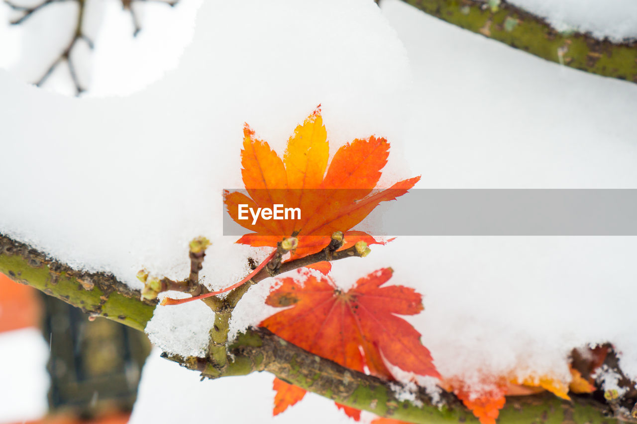 nature, beauty in nature, leaf, orange color, autumn, fragility, winter, cold temperature, outdoors, day, white color, change, growth, close-up, no people, flower, snow, maple leaf, freshness, water, flower head, maple