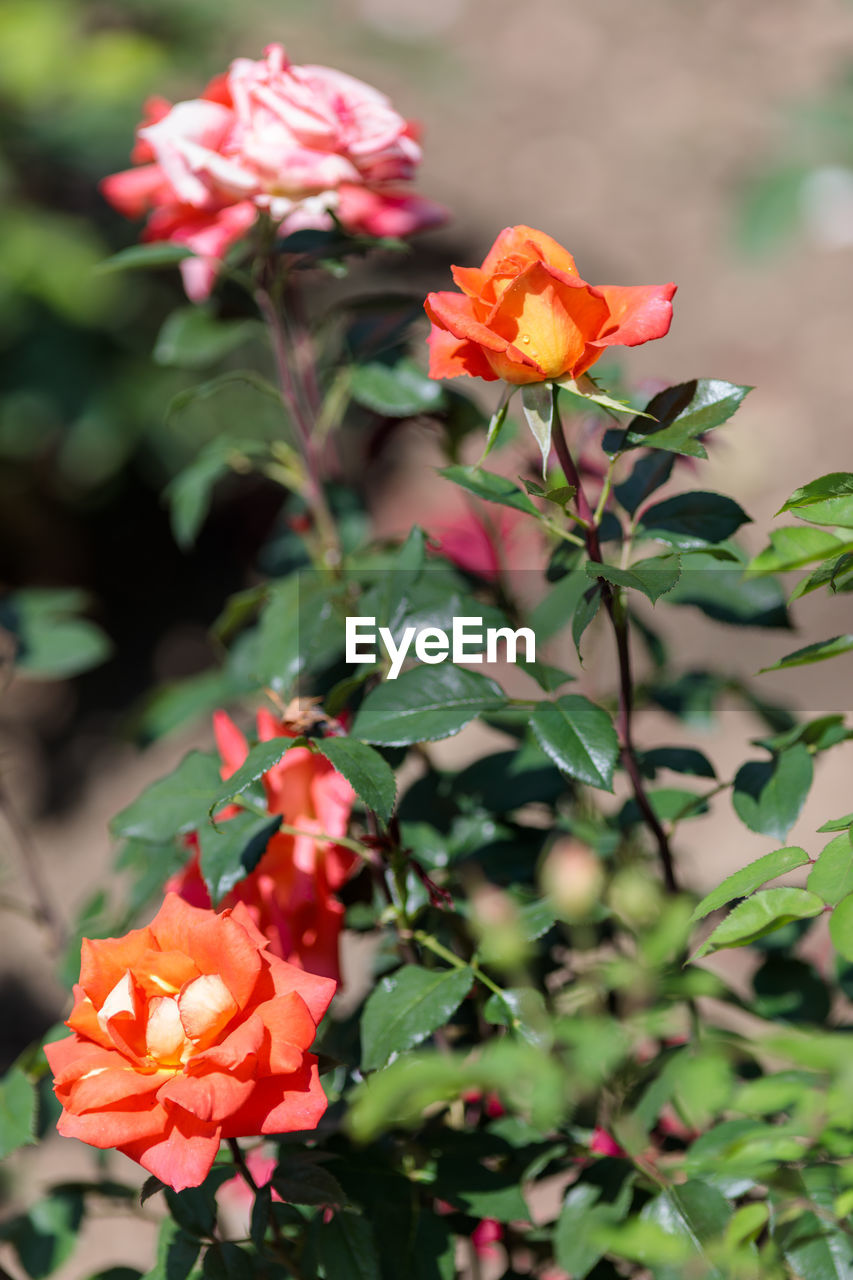 flowering plant, flower, petal, beauty in nature, plant, flower head, freshness, growth, inflorescence, fragility, vulnerability, close-up, nature, focus on foreground, plant part, no people, leaf, day, orange color, outdoors